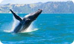 Nullarbor Tours - Southern right whales that migrate along the Nullarbor