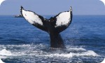Nullarbor Tours - great whale watching